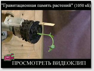 """Просмотреть видеоклип """"Гравитационная память растений"""" (963 кБ)"""
